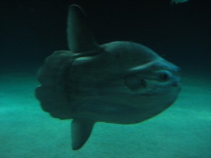 Sunfish - looks kind of like a huge clam...